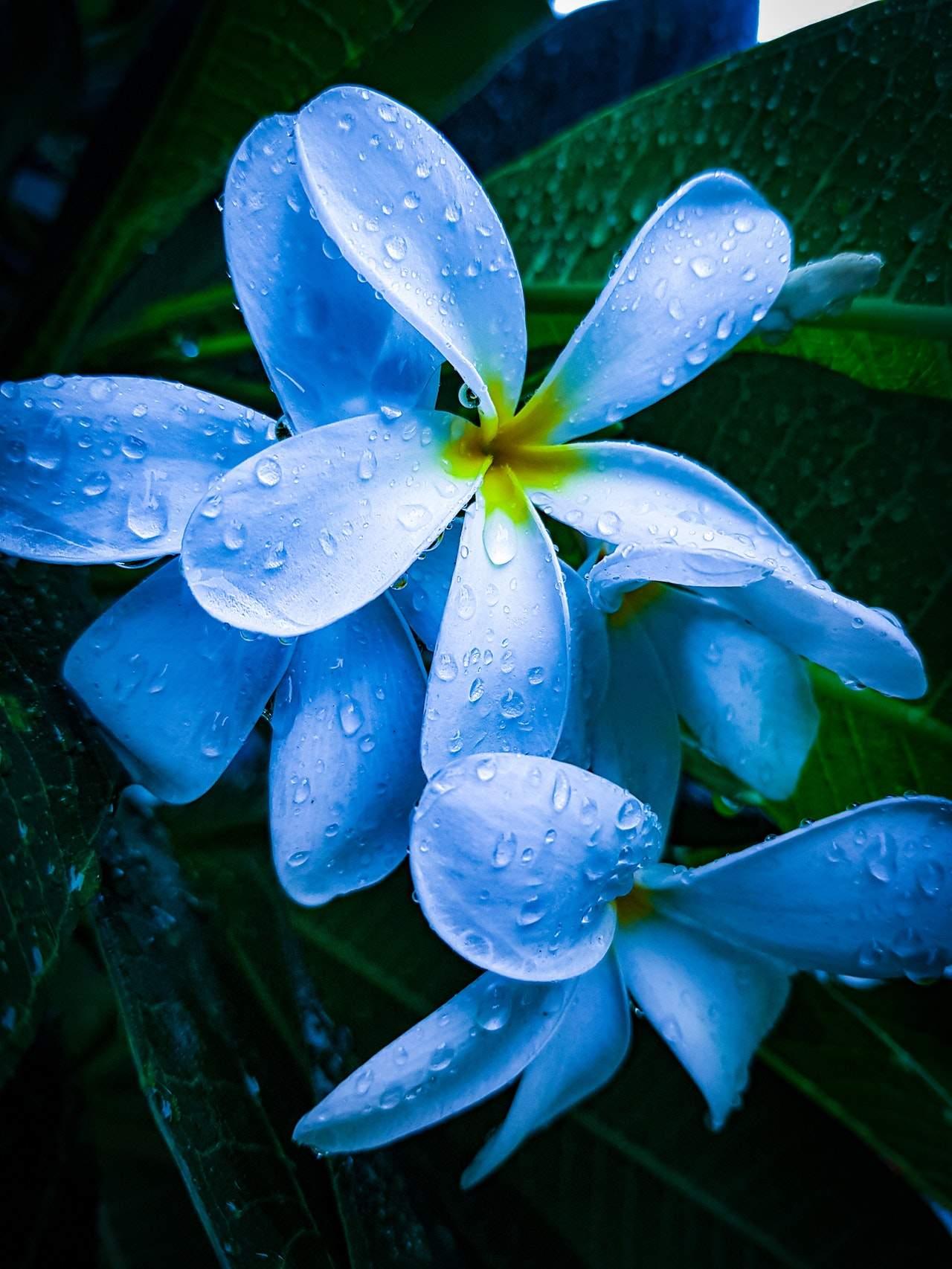 white-plumeria-flower-2857761